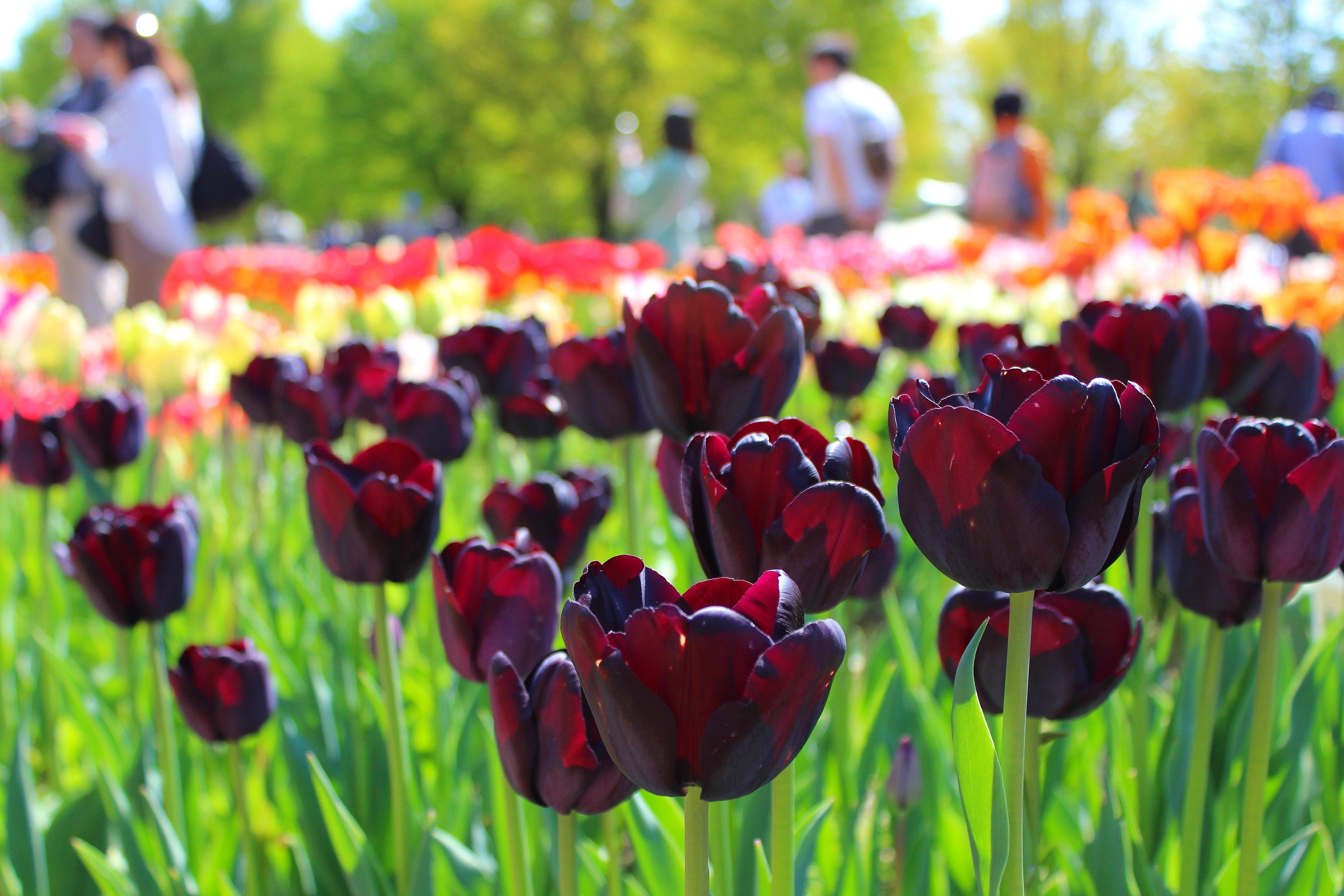 富山県でチューリップが栽培され県花にまでなった理由とは