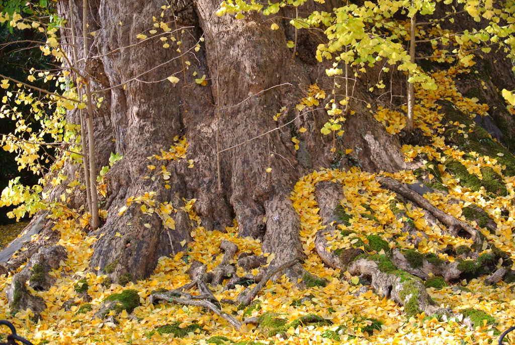 【富山のイチョウ】樹齢1000年の氷見市上日寺の紅葉が美しかった