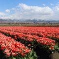 【舟川べりの桜並木】世界に誇れる春の四重奏を見に行ってきた