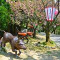 【八重桜まつり2019】倶利伽羅峠で赤餅食べて厄よけにいってきた