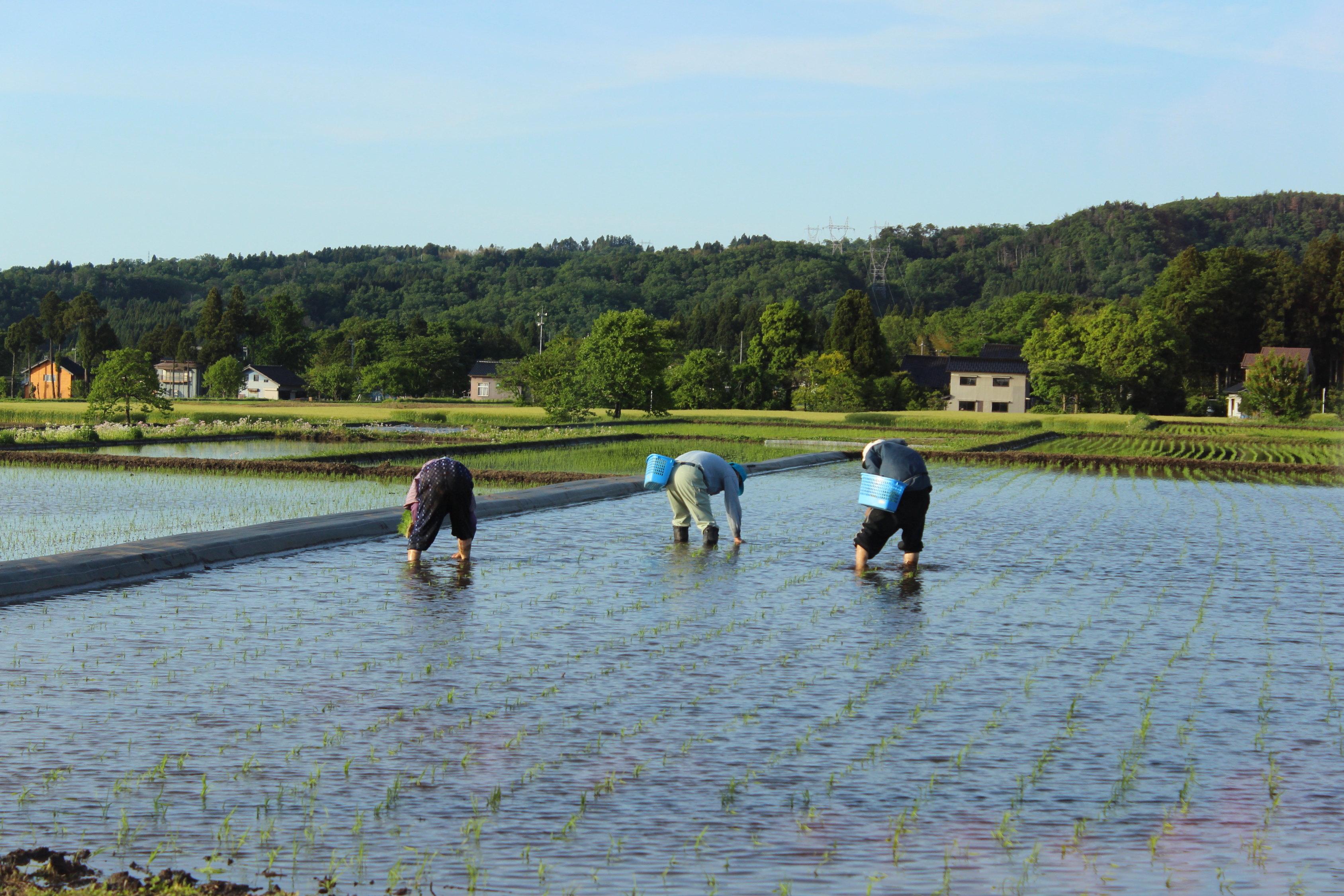 コシヒカリを超える新品種を収穫!富山県から新たなブランド米が生まれるか!?