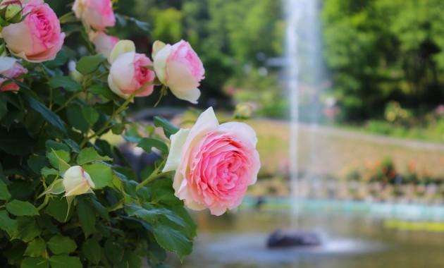 圧倒的にバラが咲き誇る「氷見あいやまガーデン」をに行こう!