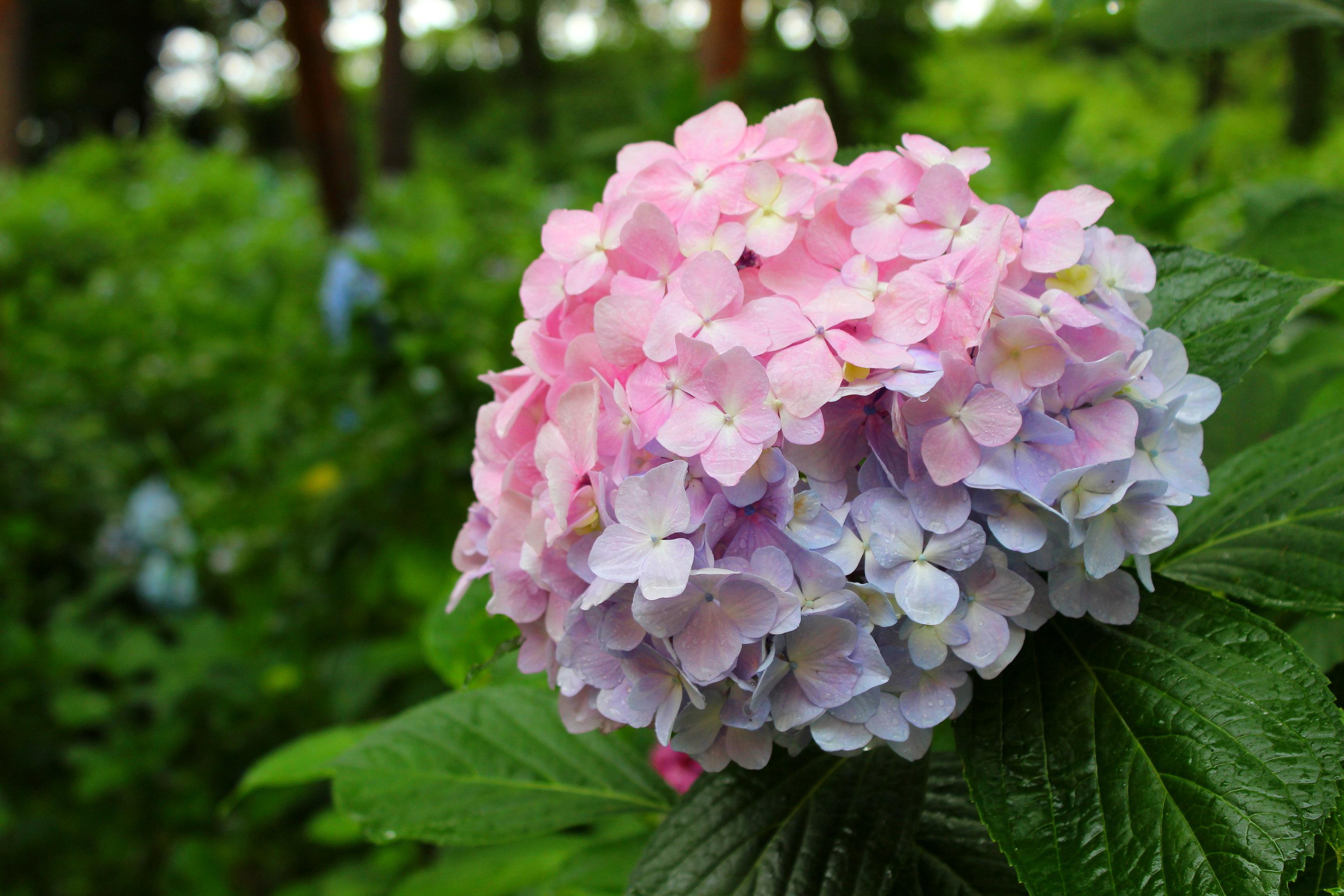 【あじさい祭り2021】雨だから太閤山ランドの花の祭典に行ってきた