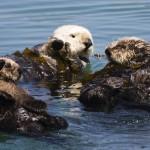 Sea Otter Mom with Pup, Morro Bay, CA 16april2007