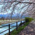 【黒部川堤防桜堤】1.2kmにもおよぶ桜並木と立山連峰を見てきた