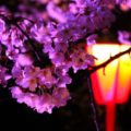 【庄川峡桜まつり】幻想的な夜桜!砺波の桜の名所に行ってきた