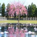 【前沢ガーデン 桜花園】ファスナーYKKのオシャレな桜を見てきた