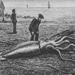 Giant_squid_catalina2