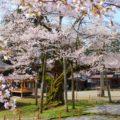 【明日の大桜】富山でも珍しい法福寺の一本桜を見に行ってきた