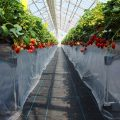 【西塩野観光農園2020】最先端!清潔感あるイチゴ狩りがすごかった