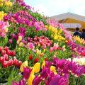 【となみチューリップフェア2021】日本一の花の祭典に行ってきた