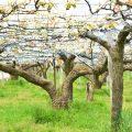 呉羽梨の木が約30本切られる!? 一体だれが何のために