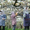 【呉羽梨の花畑】まるで白い絨毯!桜のあとは梨で花見をしよう