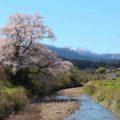 【向野のエドヒガン】樹齢100年以上の美しい樹形の桜を見てきた