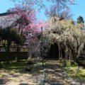 【善徳寺の糸ざくら】城端しだれ桜まつりも開催の場所に行ってきた