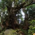 【洞杉群】巨大な石の上に伸びる!魚津市のスギが圧巻すぎたw